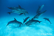 Atlantic spotted dolphins, Stenella frontalis, group socializing and perhaps feeding on buried prey, Bahamas ( Western Atlantic Ocean )