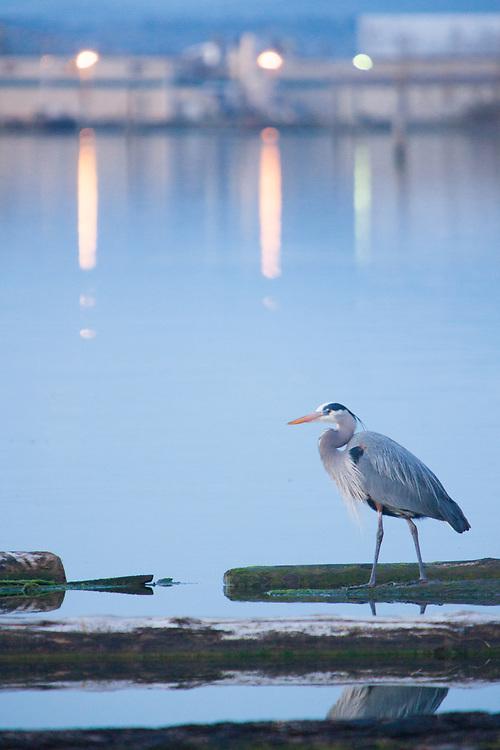 North America, United States, Washington, Everett, great blue heron (Ardea herodias)  on dock at twilight, 10th Street Marina Park at the Port of Everett