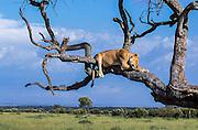 KENYA, AFRICA: Female Lion, panthera leo, asleep in tree, savannah of Masai Mara National Reserve