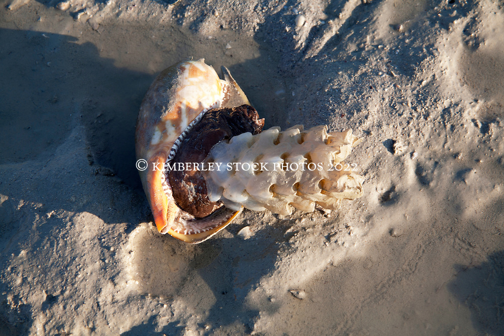 A bailer shell (Melo melo) with egg case on a sandbank at Augustus Island.