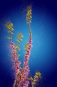 Digitally enhanced image of a Judas Tree (Cercis siliquastrum). Photographed in the Upper Galilee Israel