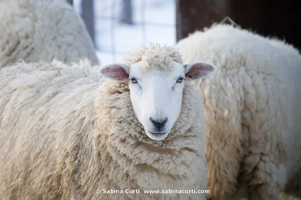 Family farm, sheep ewe in winter on small sustainable family farm in Hillsdale, Columbia County, NY, New York