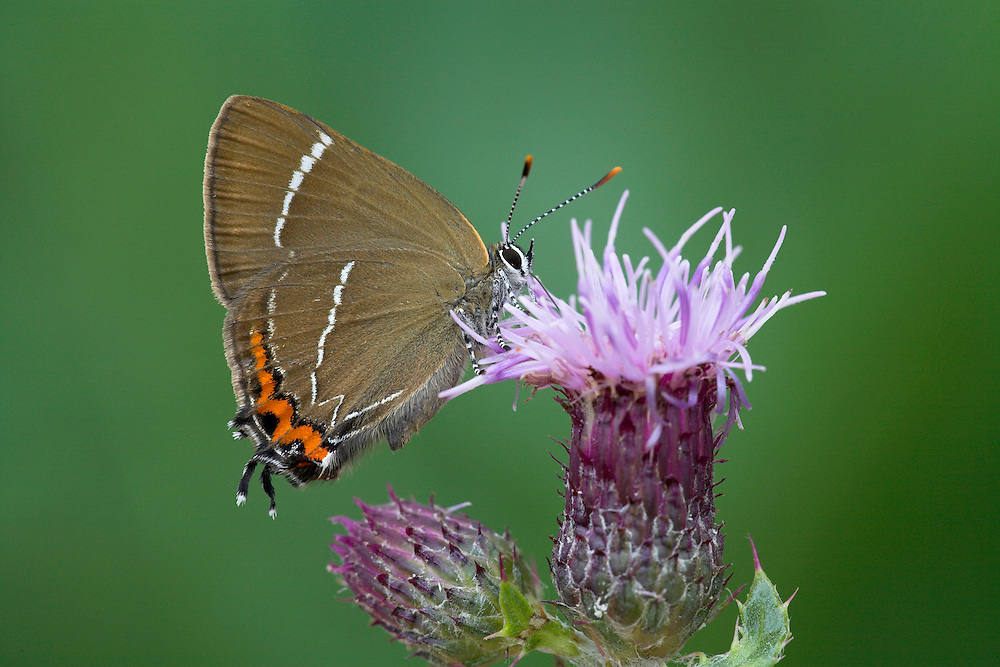 White-letter Hairstreak Satyriuim w-album Wingspan 35mm. Small, active butterfly that is hard to observe closely. Usually flies around treetops but also visits Bramble flowers to feed. Adult seldom reveals upperwings. Underwings are brown with jagged orange band and white 'w' on hindwing. Flies July-Aug. Larva is rather slug-like and feeds on elms. Widespread loss of larval foodplants from Dutch elm disease has caused decline. Today it is very local, in central and southern England and Wales.