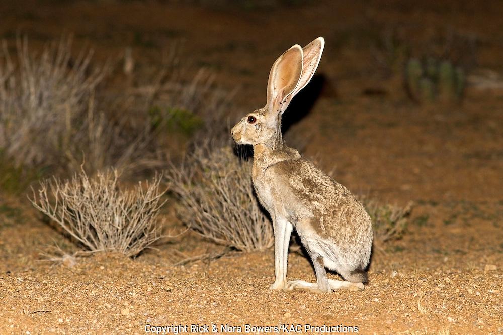 Antelope Jackrabbit <br /> Lepus alleni<br /> Tucson, Pimal County, Arizona, United States<br /> 22 July        Adult      Leporidae