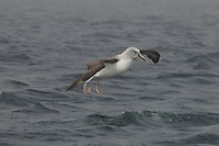 Grey-headed Albatross (Thalassarche chrysostoma) in flight.  Coming in for landing on the water.<br />