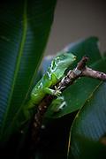 Fijian Iguana , Kula Eco Park, Viti Levu, Fiji