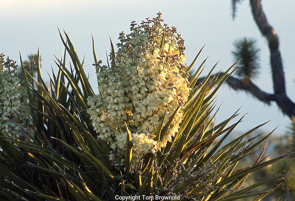 Blooming Joshua trees in the Mojave desert of western Arizona.<br /> Yucca brevifolia