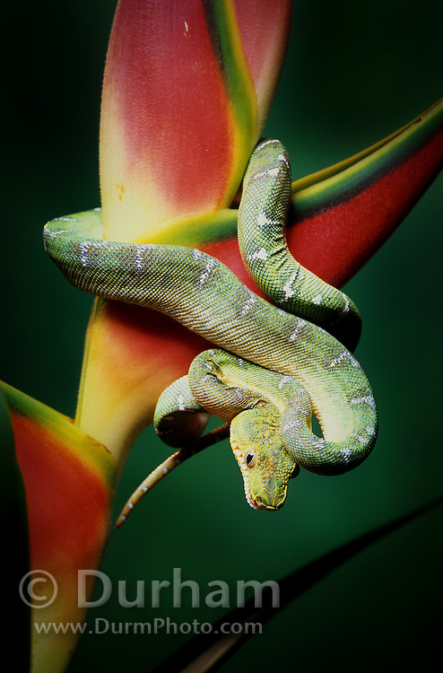 An emerald tree boa (Corallus caninus) on a tropical flower. Found in South America in the Amazon Basin region of Colombia, Ecuador, Peru, northern Bolivia, Brazil, and from Venezuela to Surinam and the Guianas. Captive.