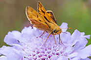 Hylephila phyleus - Fiery Skipper