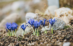 THEMENBILD - blaue kleine Liliengewächse in einem Blumenbeet, aufgenommen am 05. März 2020 in Kaprun, Oesterreich // blue small lily plants in a flowerbed, in Kaprun, Austria on 2020/03/05. EXPA Pictures © 2020, PhotoCredit: EXPA/Stefanie Oberhauser