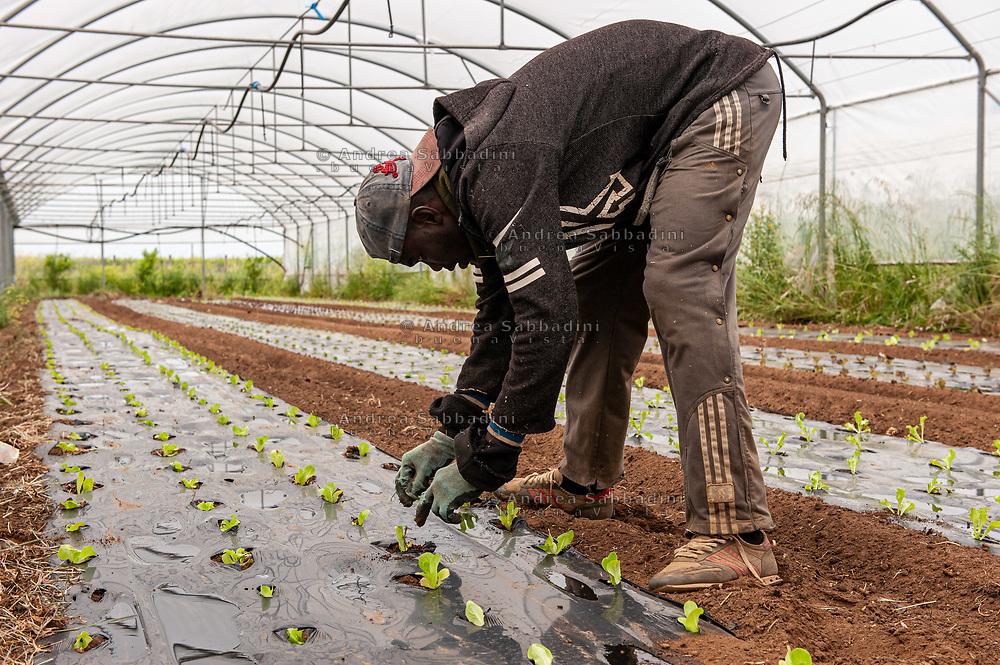 Nettuno, 14/05/2020: Braccianti immigrati raccolgono ortaggi nelle serre di un'azienda agricola dell'Agro Pontino.<br /> © Andrea Sabbadini