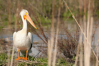 An American White Pelican rests on the banks of a canal in the Bear River Migratory Bird Refuge in northern Utah.