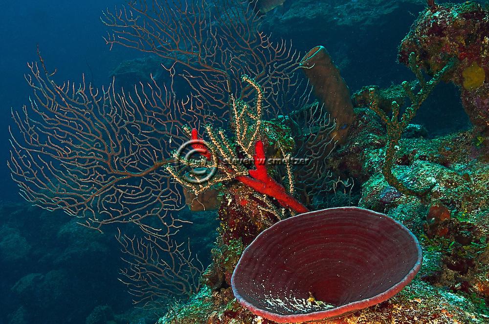 Deepwater Sea Fan, Iciligorgia schrammi, Grand Cayman