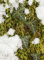 A lovely composition of ivy, snow and moss in wintertime in Switzerland.