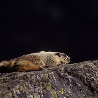 Hoary marmots perched on rock. Sunning, sleeping. Glacier National Park, Montana.