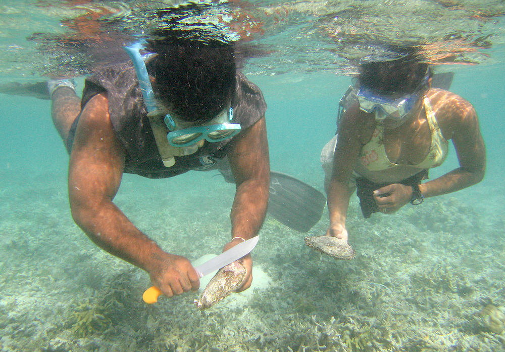 On the Micronesian island of Pohnepei, divers collect naturally occurring black-lipped pearl oysters from the reefs around the island. Divers seek those that will likely produce the finest black pearls.  Then breed and raise them in a cultured pearl aquaculture facility.  Thousands of years ago in Mesopotamia, early humans selected wild seeds they had gathered from local grasses and began cultivating and selecting those that were biggest in size and with good yield and taste, and saving and planting the best of them, thus domesticating grains, and giving birth to agriculture as we know it. This exact same process of domestication is taking place in Pohnepei, where the oysters? offspring will be farmed in floating nets for a pearl aquaculture project sponsored by the College of Micronesia.