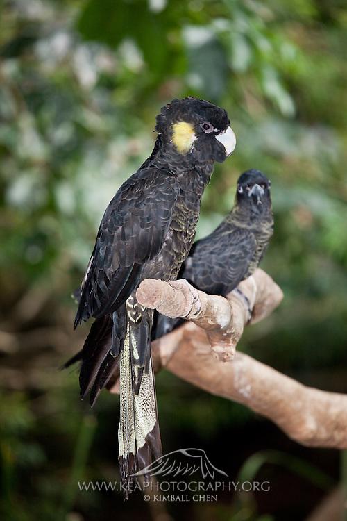 Yellow-tailed Black Cockatoo, Australia