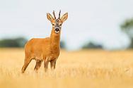 Western Roe Deer (Capreolus capreolus) male in wheat stubble, South Norfolk, UK. August