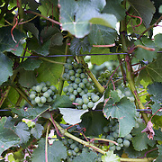 Grapes on the vine at Cloudy Bay Vineyard, Jackson Road., Marlborough, New Zealand..The winery and vineyards are situated in the Wairau Valley in Marlborough at the northern end of New Zealand's South Island. This unique and cool wine region enjoys a maritime climate with the longest hours of sunshine of any place in New Zealand. Wairau Valley, Marlborough, New Zealand. 9th February 2011. Photo Tim Clayton.