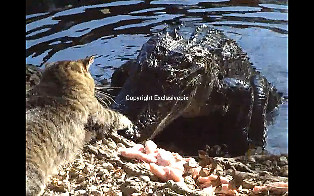 He's no scaredy-cat! Angry feline who took on an alligator <br /> <br /> It looks like a good way for this cat to become a tasty snack.<br /> But when the bold feline decided to take on an alligator in New Orleans, he came out remarkably intact. <br /> He chose to take on the reptile at an wildlife park just as it was trying to eat some chicken, and began raining blows on its snout.&nbsp;<br /> Tourists on a Cajun Pride Swamp Tour, looked on stunned as the moggy took offence to an alligator trying to eat some chicken.<br /> <br /> It begins with the cat firing off three right jabs before the gator steps back to flash its most menacing stare down ever.<br /> After the tense face off, the gator moves forward, grabs a piece a chicken and wham! gets a right hook straight in the mouth.<br /> As the 'living fossil' twists its head and picks up more meat, the cat unleashes three left hooks in quick succession.<br /> The American alligator can weigh up to 800lbs and grow to 13 feet, but our fluffy fighter didn't care for facts and figures - it simply didn't like the ugly beast.<br /> <br /> Sitting bolt upright, its ears went back and it started hissing.<br /> The gator tried coming at the chicken from a different direction, the cat threw an overhand right, the dazed gator sheepishly retreated into the water and ding! ding! ding! the fight was over.<br /> The cat may be the bravest or most stupid you've ever seen and a cynic may argue that the gator has been trained not to attack.<br /> But who's ever heard of a trained alligator?<br /> &copy;Exclusivepix