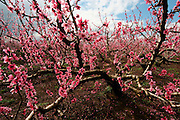 Almond plantation in blossom