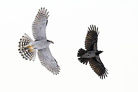 Hønsehauk (Accipiter gentilis) jager etter kråke (Corvus cornix) i flukt, Rogaland.<br /> <br /> Northern Goshawk (Accipiter gentilis) chasing a Hooded Crow (Corvus cornix) in southern Norway, December.