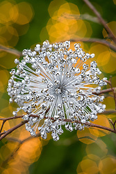 Allium seedhead sprayed silver used as Christmas decoration