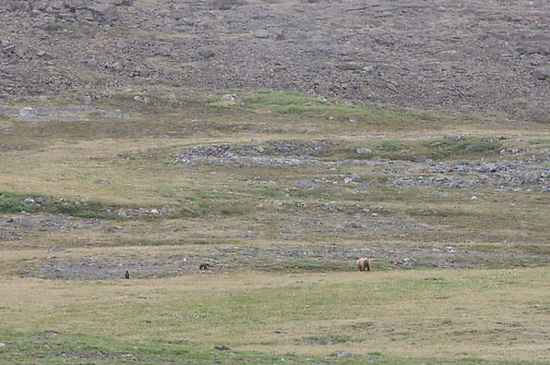 Grizzly Bear also know as a Barren Ground Grizzly with two cubs on the tundra near Elu Inlet, Nunavut, Canada