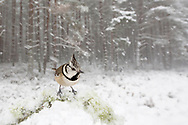 Crested tit in snow-laden pine forest, Glenfeshie, Scotland.
