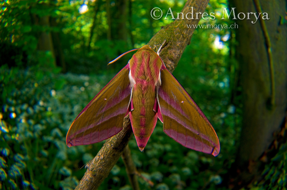 Small Elephant Hawk moth (Deilephila porcellus), Sphingidae, butterfly, Canton Aargau, Switzerland Image by Andres Morya