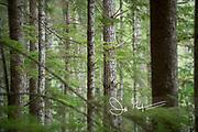 Trees in a temperate rainforest in Desolation Sound, British Columbia, Canada.