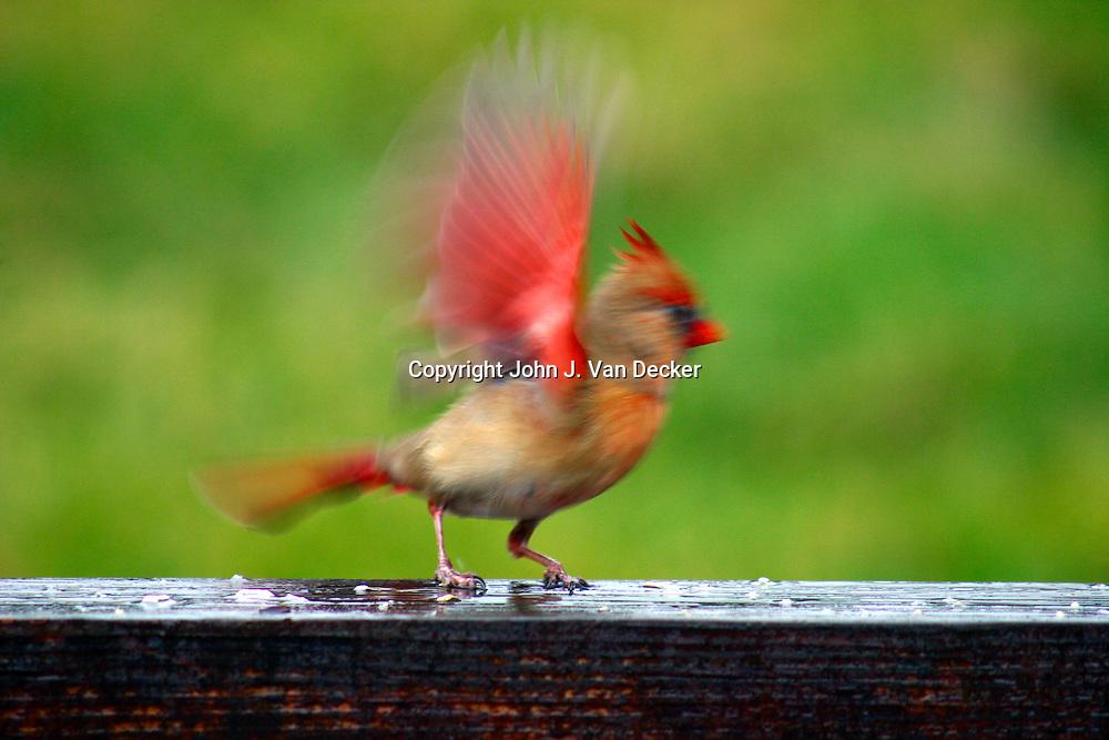 Northern Cardinal, Cardinalis cardinalis, female, taking off