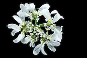 White lace flower (Orlaya grandiflora) - Großblütige Strahlendolde