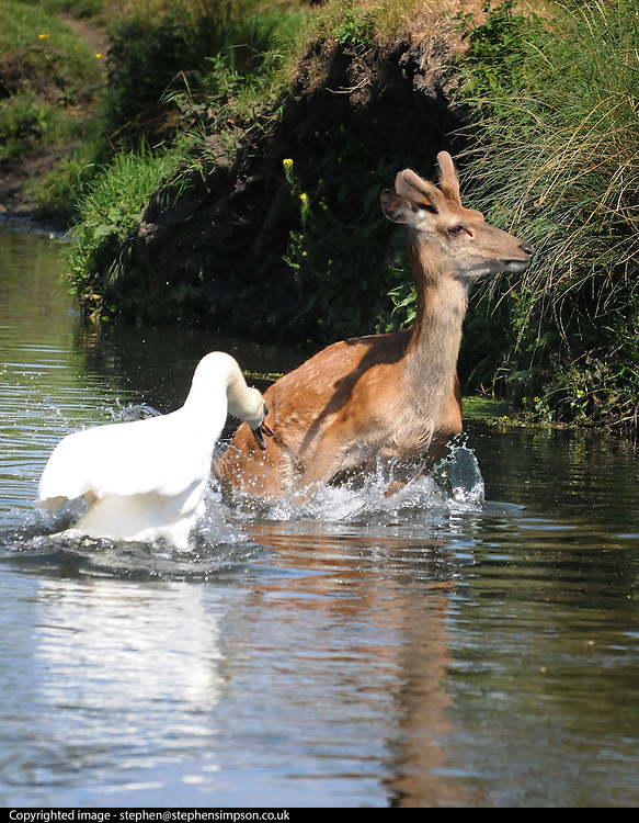 30/05/2009 A swan attacks a deer as it takes a drink in sweltering temperatures at Richmond Park.