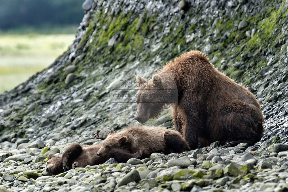 A grizzly bear sow guards her sleeping spring cubs along the lower lagoon at the McNeil River State Game Sanctuary on the Kenai Peninsula, Alaska. The remote site is accessed only with a special permit and is the world's largest seasonal population of brown bears.