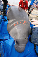 Manatee Health Assessments, Kings Bay, Crystal River, Citrus County, Florida USA. January 25, 2012 pm. Researchers from several federal and state agencies work together to gather data during the manatee capture and health assessments. Grease pencil marks denote a field ID number assigned by the Project Leader. Sex of the manatee is also marked. The animal will only be out of the water for a safe, pre-detrmined timespan during data and sample collection.