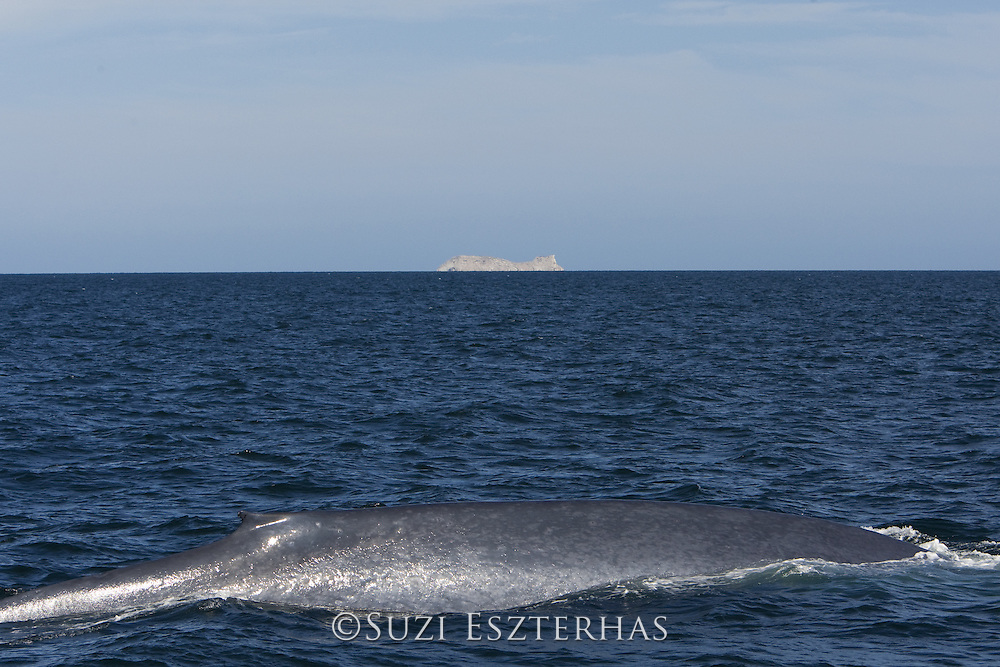 Blue Whale<br /> Balaenoptera musculus<br /> Sea of Cortez, Baja CA, Mexico