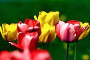 Tulips on the Village Green in Dorset,VT