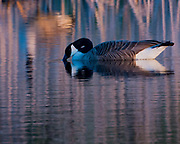 Goose creates reflection with texture as the sun sets the mood and color scheme for the dance.