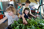 From left, Miriam, 9, Abigail, 8, help their mom Rachelle Schiebout who is holding Jude, 2, rinse radishes at Millsap Farm during CSA harvest day on Tuesday, June 14, 2016. CSA members are required to work 12 hours on the farm.