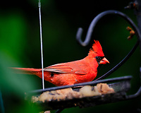 Male Cardinal at the Birdfeeder. Image taken with a Fuji X-T3 camera and 100-400 mm OIS lens