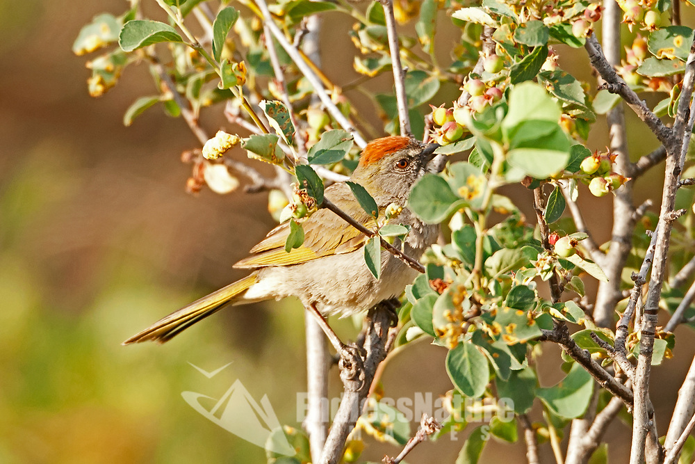 A Green Tailed Towhee enjoys the fruit of an early season roadside plant.
