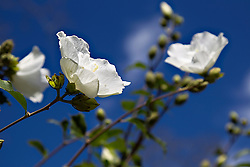 white field bindweed found in North America