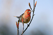 A Cute Little Bird, The Male House Finch In Early Spring, Carpodacus mexicanus