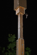 "An indiana bat (Myotis sodalis) emerging from an artificial day roost. Indianapolis, Indiana. These ""bat boxes"" were created for a research project managed by the Center for Bat Research at Indiana State University to mitigate for lost habitat with this highly endangered species."