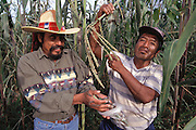 Two farmers harvest some edible caterpillars that are infesting their cornfield in Puebla, Mexico. Image from the book project Man Eating Bugs: The Art and Science of Eating Insects.