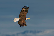 Bald eagle in flight, with snowy mountain range and stormy sky in background, © 2005 David A. Ponton