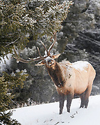 Bull Elk (Cervus canadensis nelsoni), Yellowstone National Park, Wyoming
