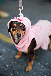 31 January 2016. New Orleans, Louisiana.<br /> Mardi Gras Dog Parade. A dachshund at the Mystic Krewe of Barkus as it winds its way around the French Quarter with dogs and their owners dressed up for this year's theme, 'From the Doghouse to the Whitehouse.' <br /> Photo©; Charlie Varley/varleypix.com