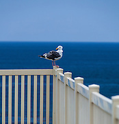 Seagull Sitting On A Fence In Laguna Beach California